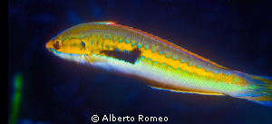 Mediterranean wrasse Coris julis by Alberto Romeo 